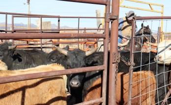 cedar livestock