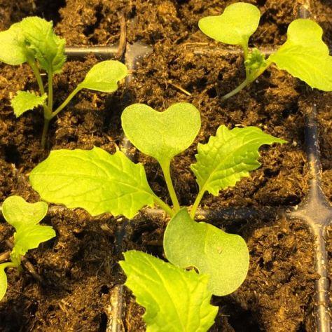 Salaatti 5 hunajanauris