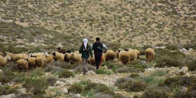 احتجاز قطيع ماشية يشعل خلافات بين بلدتين غرب #السويداء ..!