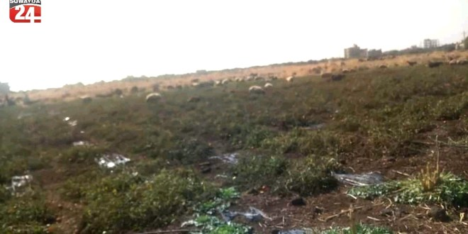 خسائر بالملايين لمزارعي البندورة في السويداء، أحدهم ضمن مشروعه للمواشي .!