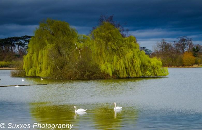 pirton pool swans