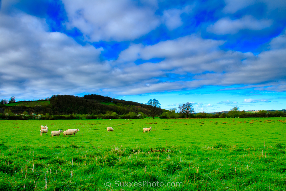 Sheep Sandhurst hill