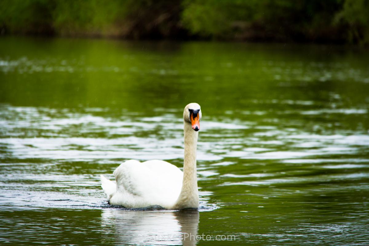 white swan river wye