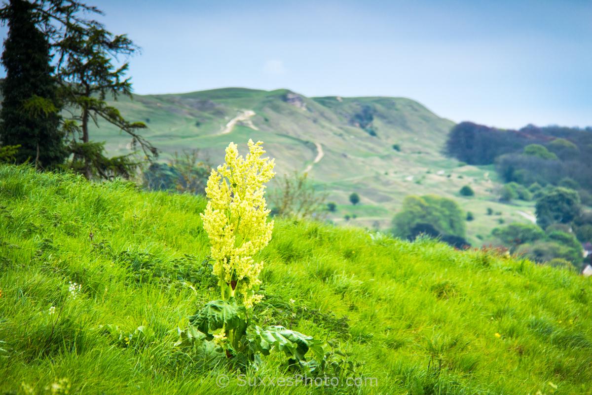 wild flower Nottingham Hill