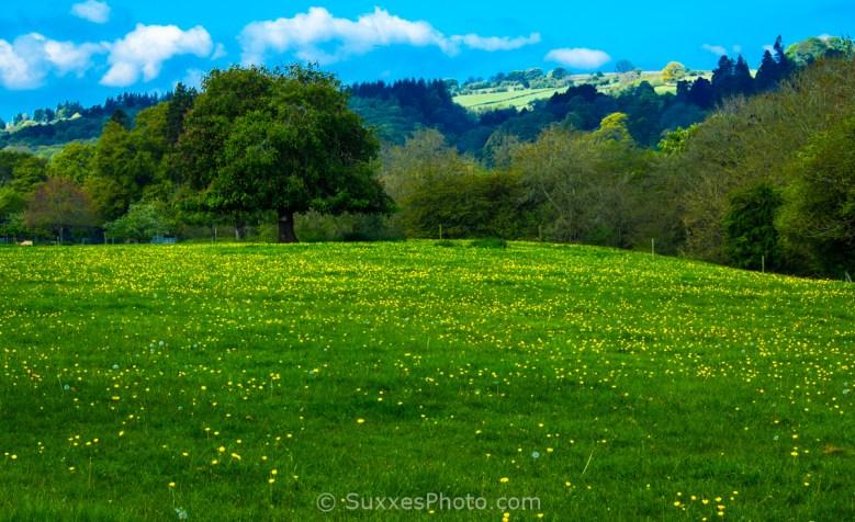buttercups pasture kington