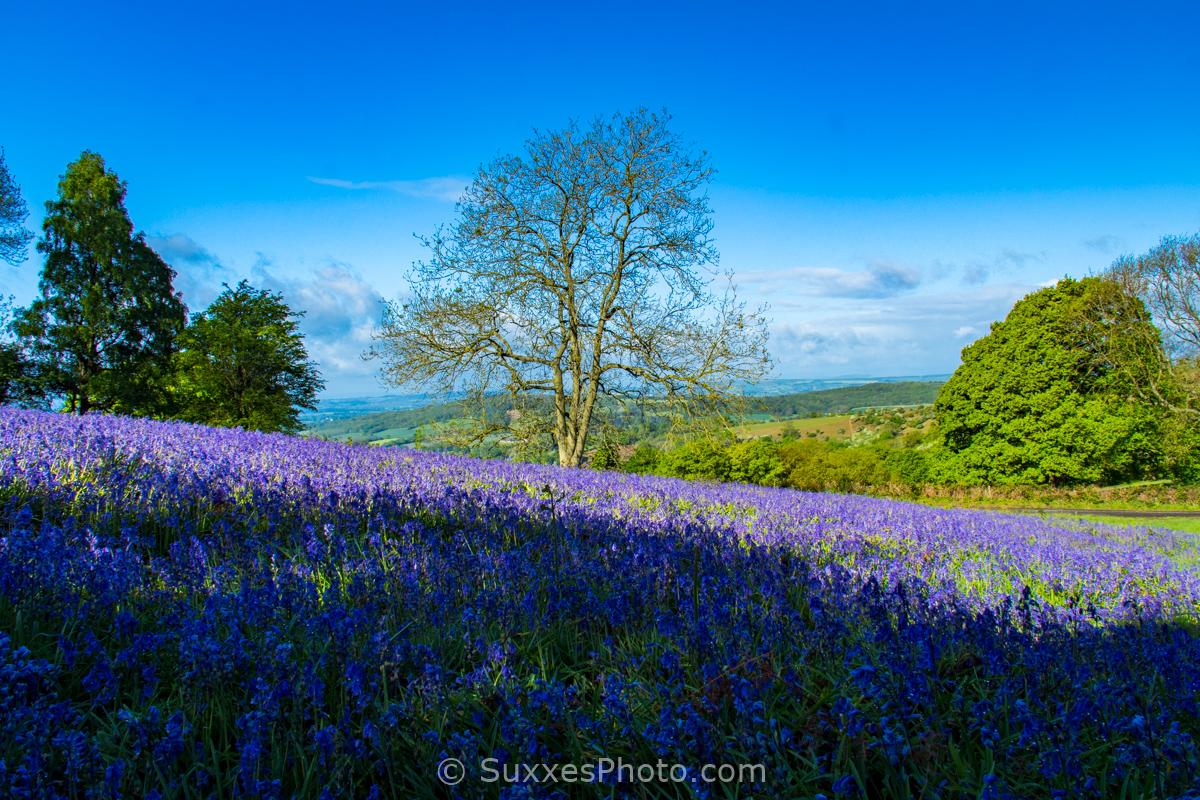 midsummer hill bluebells malverns
