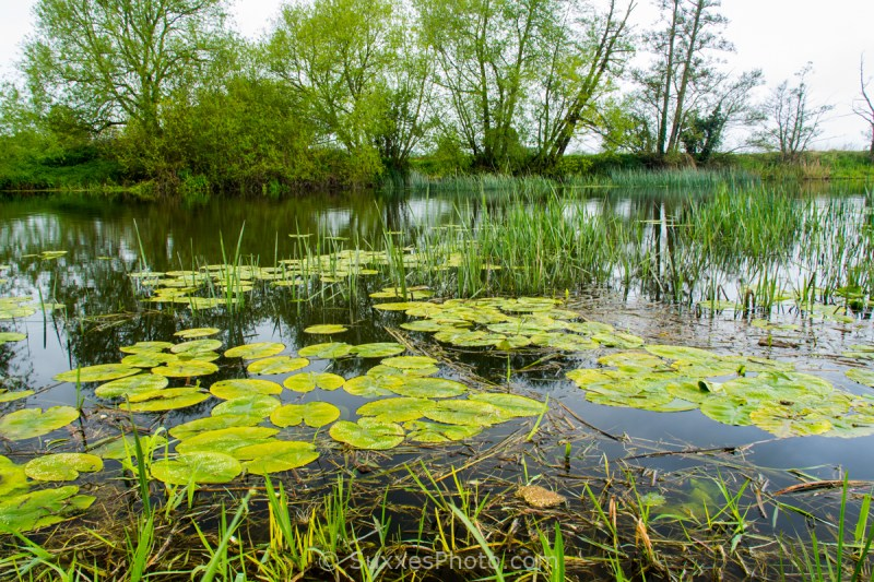 river avon reeds lilies
