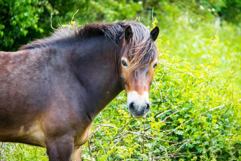 ewyas harold common horse