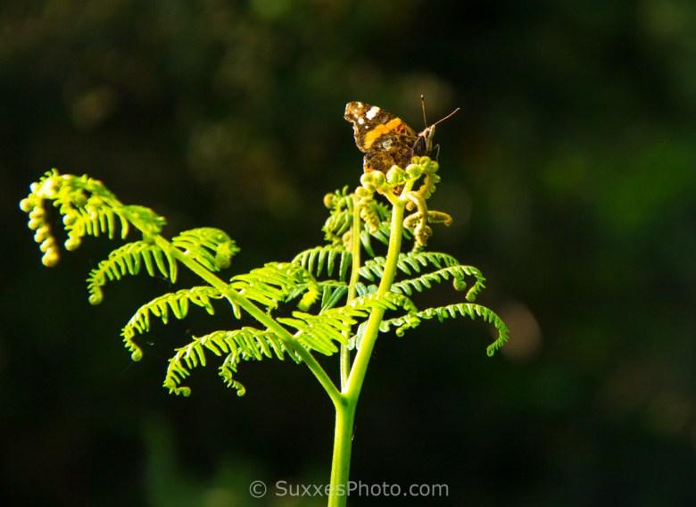 butterfly mid summer hill