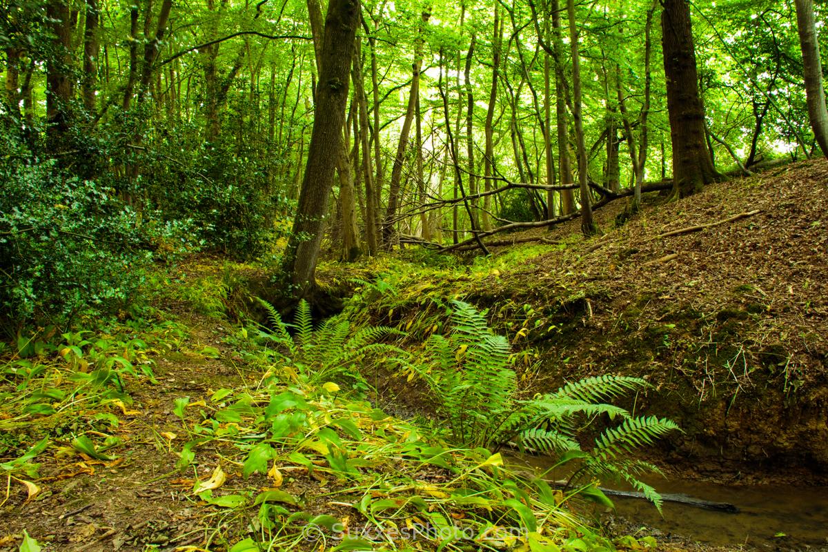 birches woodland surrey