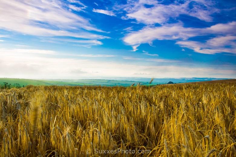 corn field sunset dorset