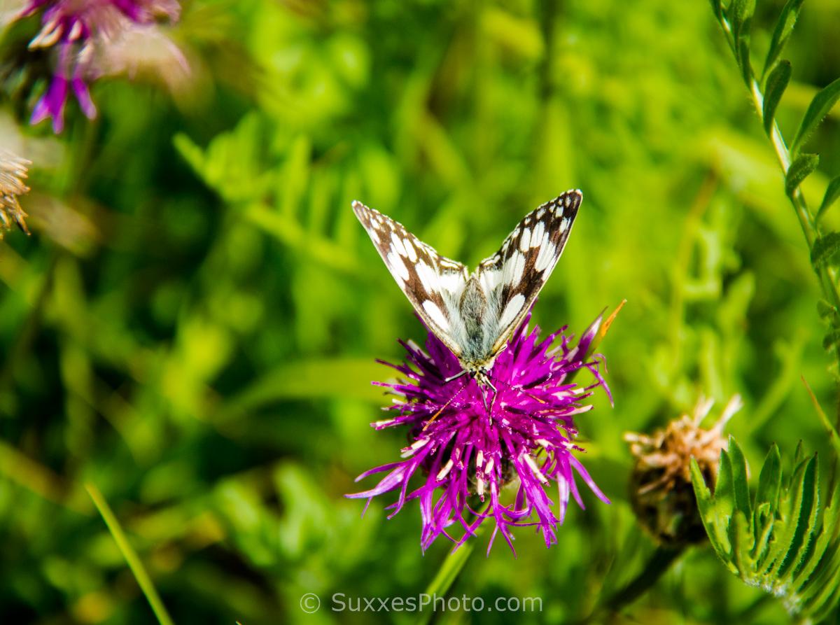 dorset butterfly