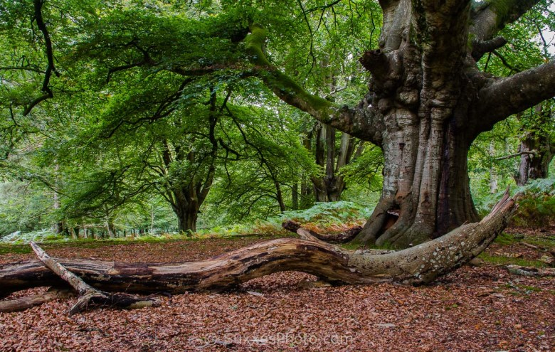 new forest ancient woodland