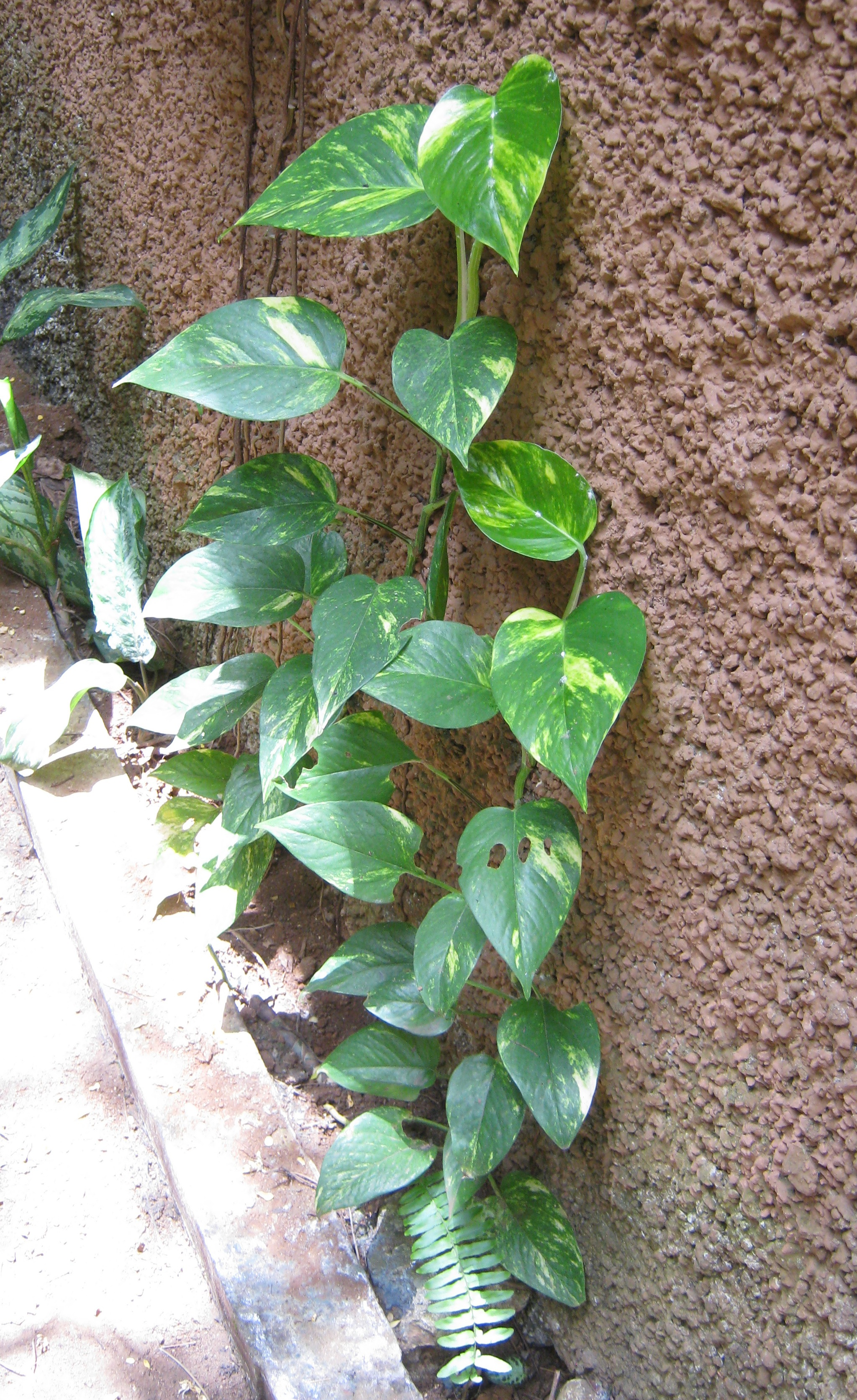 Photo  Golden Pothos  Suz and Tell