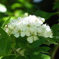 Be of good heart with hawthorn blossom tea