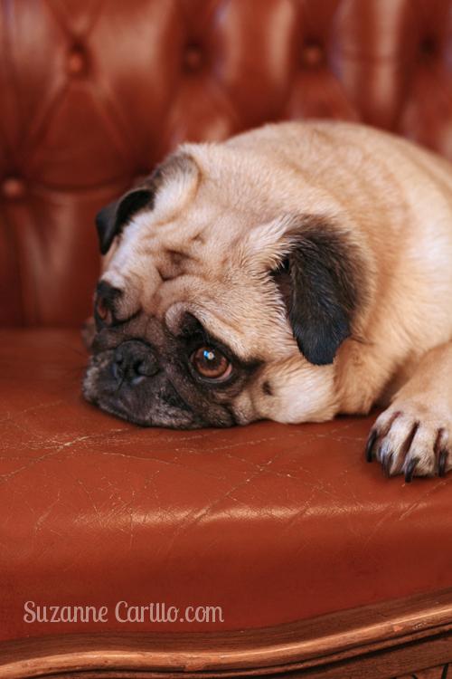 Cute pug Zoe