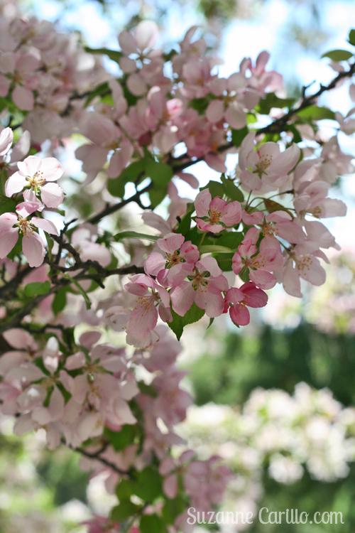 spring blossoms suzanne carillo
