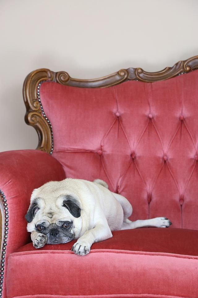 zoe the pug lounging like Miss Fisher
