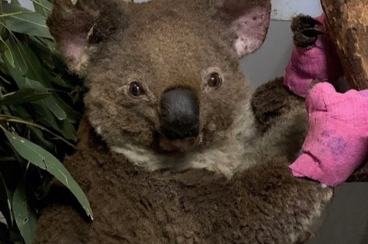 What have we done? Environmental emergency in Australia koala bear burnt paws