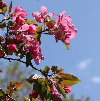 Pink_cherry_blossom