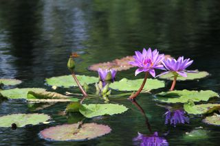 Purple water lillies