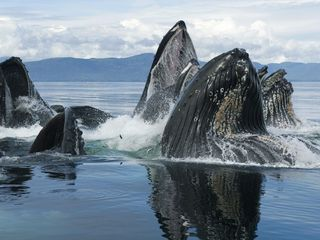 Humpback_Whale_Group_Bubble_Net_Feeding_Chatham_Strait_Alaska_1440x1080