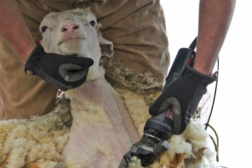 Sheep shearing head shot
