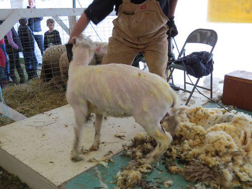 Sheep sheering end