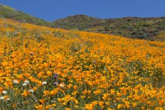 California_poppies-103