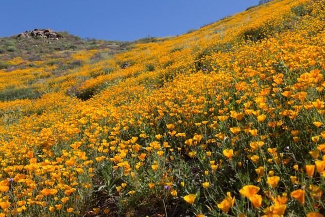 California_poppies-126