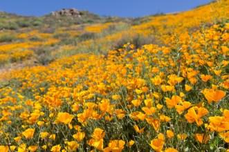 California_poppies-151