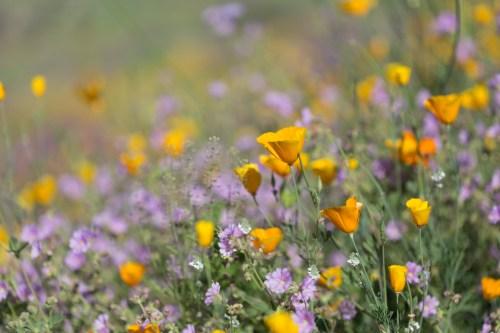 California_poppies-28