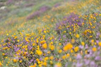 California_poppies-31