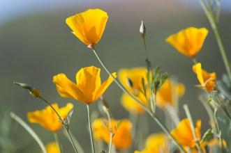 California_poppies-46