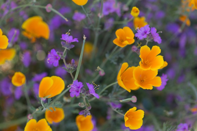 California_poppies-70