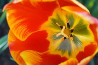 macro inside single red tulip