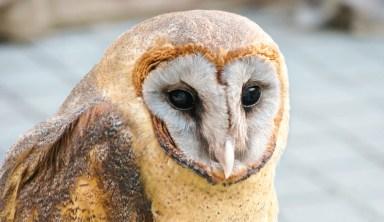 owl in Kyoto Japan