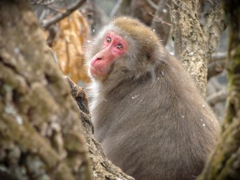 Japanese macaque monkey in tree