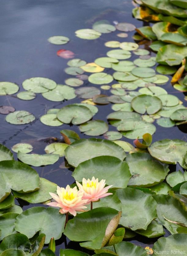 Echo Park Lake lotus flower lily pads