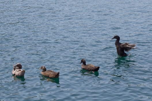 Ducks swim on the lake