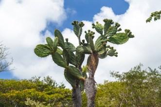 Cactus Tree on San Cristobal Island