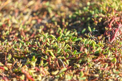 Succulent Ground Cover on Mosquera Island