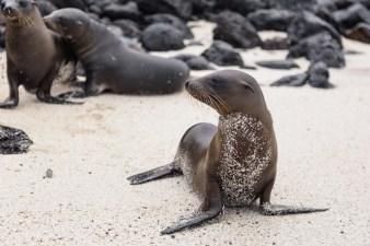 Wild sea lion on Santa Fe Island, Ecuador