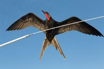 Male Frigatebird on Cruiseship
