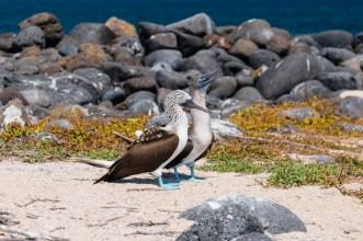 Blue Footed Booby birds on Seymore Island, Ecuador