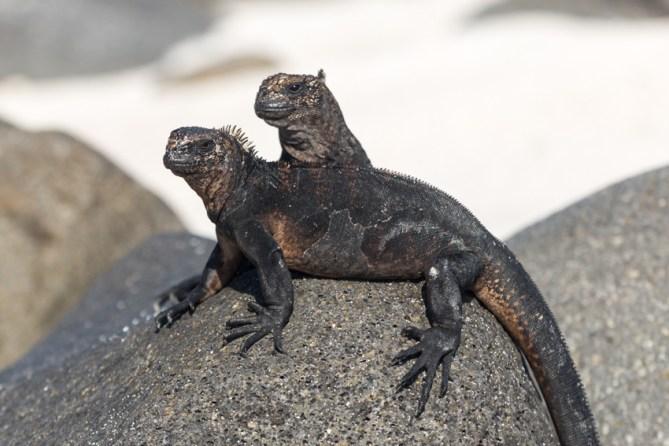 Galapagos Marine Iguana on Mosquera Island, Ecuador