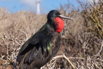Male Frigatebird on Genovesa Island