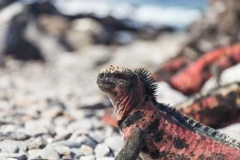 Colorful iguana on Espanola Island in Galapagos National Park