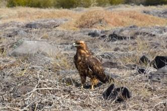 Galapagos Hawk on Espanola Island in Galapagos National Park