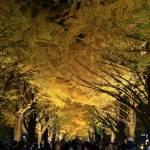 北海道大学 金葉祭 に行ってライトアップされた銀杏並木を堪能してきた!一般開放される北大のイチョウ並木を見よう!